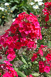 Red Flame Garden Phlox (Phlox paniculata 'Red Flame') at Studley's