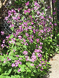 Biennial Money Plant (Lunaria annua) at Studley's