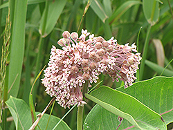 Common Milkweed (Asclepias syriaca) at Studley's