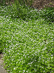 Sweet Woodruff (Galium odoratum) at Studley's