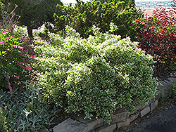 Emerald Gaiety Wintercreeper (Euonymus fortunei 'Emerald Gaiety') at Studley's