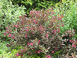 Midnight Wine® Weigela (Weigela florida 'Elvera') at Studley's
