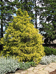 Golden Threadleaf Falsecypress (Chamaecyparis pisifera 'Filifera Aurea') at Studley's