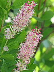 Ruby Spice Summersweet (Clethra alnifolia 'Ruby Spice') at Studley's