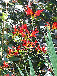 Lucifer Crocosmia (Crocosmia 'Lucifer') at Studley's