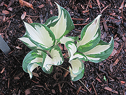Christmas Candy Hosta (Hosta 'Christmas Candy') at Studley's