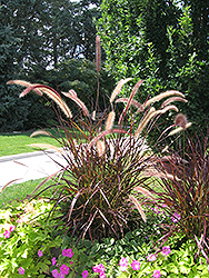 Purple Fountain Grass (Pennisetum setaceum 'Rubrum') at Studley's