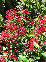 Starla Red Star Flower (Pentas lanceolata 'Starla Red') at Studley's