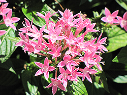 Starla Pink Star Flower (Pentas lanceolata 'Starla Pink') at Studley's