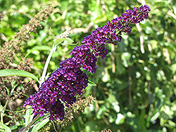 Black Knight Butterfly Bush (Buddleia davidii 'Black Knight') at Studley's