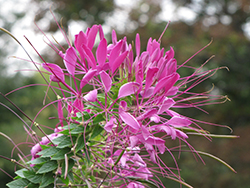 Cherry Queen Spiderflower (Cleome hassleriana 'Cherry Queen') at Studley's