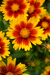 UpTick™ Gold and Bronze Tickseed (Coreopsis 'Baluptgonz') at Studley's