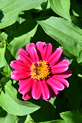 Zahara® Double Raspberry Ripple Zinnia (Zinnia 'Zahara Double Raspberry Ripple') at Studley's