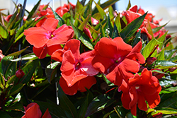 Magnum Red Flame New Guinea Impatiens (Impatiens 'Magnum Red Flame') at Studley's