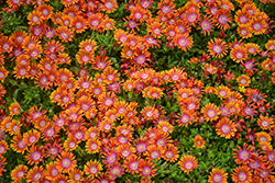 Fire Spinner Ice Plant (Delosperma 'Fire Spinner') at Studley's
