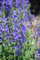 Fashionista® Midnight Model Sage (Salvia 'Midnight Model') at Studley's