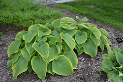 Victory Hosta (Hosta 'Victory') at Studley's
