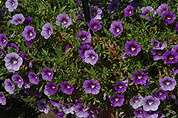 Callie® Light Blue Calibrachoa (Calibrachoa 'Callie Light Blue') at Studley's