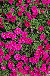 Callie® Rose Calibrachoa (Calibrachoa 'Callie Rose') at Studley's