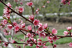 Reliance Peach (Prunus persica 'Reliance') at Studley's