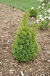 Green Mountain Boxwood (Buxus 'Green Mountain') at Studley's