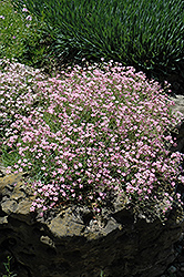 Pink Creeping Baby's Breath (Gypsophila repens 'Rosea') at Studley's