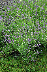 Essence Purple Lavender (Lavandula angustifolia 'Essence Purple') at Studley's