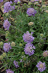 Ritz Blue Pincushion Flower (Scabiosa japonica 'Ritz Blue') at Studley's
