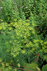 Dill (Anethum graveolens) at Studley's