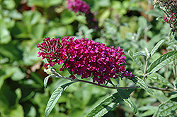 Queen Of Hearts Butterfly Bush (Buddleia 'Queen Of Hearts') at Studley's