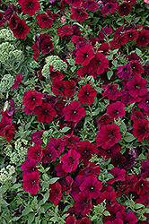 Easy Wave® Burgundy Velour Petunia (Petunia 'Easy Wave Burgundy Velour') at Studley's