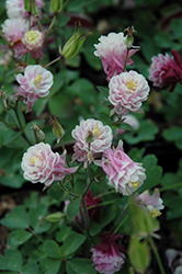 Winky Double Rose And White Columbine (Aquilegia 'Winky Double Rose And White') at Studley's