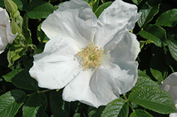 White Rugosa Rose (Rosa rugosa 'Alba') at Studley's