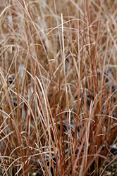 Red Rooster Sedge (Carex buchananii 'Red Rooster') at Studley's