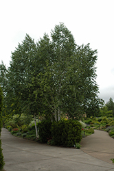 Whitebark Himalayan Birch (clump) (Betula utilis 'var. jacquemontii (clump)') at Studley's