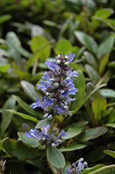 Blueberry Muffin Bugleweed (Ajuga reptans 'Blueberry Muffin') at Studley's