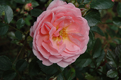Apricot Drift® Rose (Rosa 'Meimirrote') at Studley's