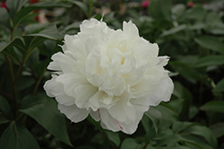 Double White Peony (Paeonia 'Double White') at Studley's