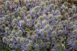 Blue Glitter Sea Holly (Eryngium planum 'Blue Glitter') at Studley's