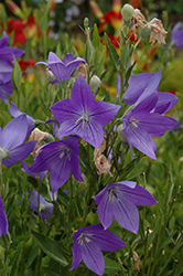 Fuji Blue Balloon Flower (Platycodon grandiflorus 'Fuji Blue') at Studley's