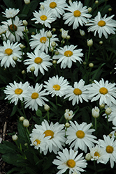 Whoops-A-Daisy Shasta Daisy (Leucanthemum x superbum 'Whoops-A-Daisy') at Studley's