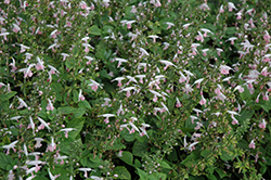 Summer Jewel Pink Sage (Salvia 'Summer Jewel Pink') at Studley's