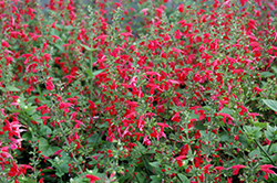 Summer Jewel Red Sage (Salvia 'Summer Jewel Red') at Studley's