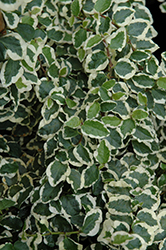 Variegated Creeping Fig (Ficus pumila 'Variegata') at Studley's