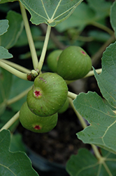 Common Fig (Ficus carica) at Studley's
