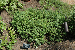 Greek Oregano (Origanum onites) at Studley's