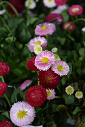 Bellisima Mix English Daisy (Bellis perennis 'Bellissima Mix') at Studley's