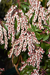 Dorothy Wyckoff Japanese Pieris (Pieris japonica 'Dorothy Wyckoff') at Studley's