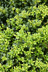 Soft Touch Japanese Holly (Ilex crenata 'Soft Touch') at Studley's