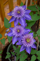 Multi Blue Clematis (Clematis 'Multi Blue') at Studley's